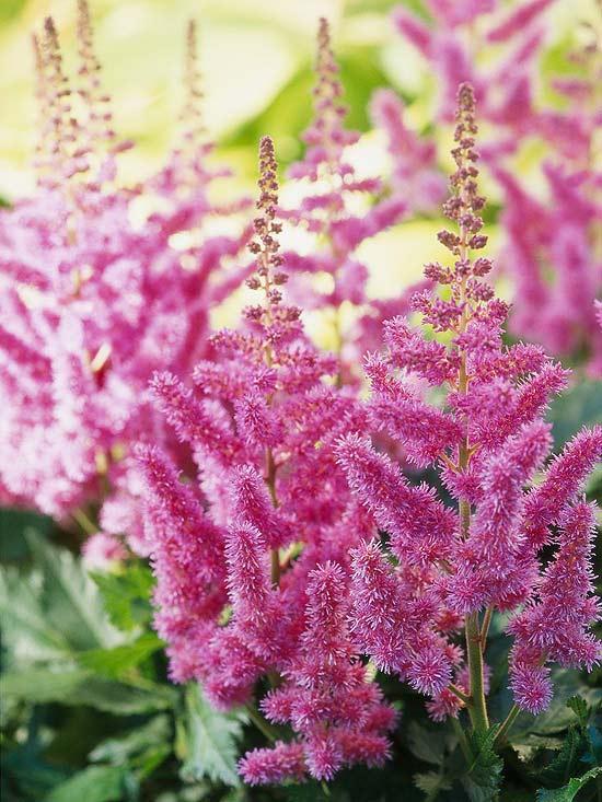 20 perennial flower for your garden 6