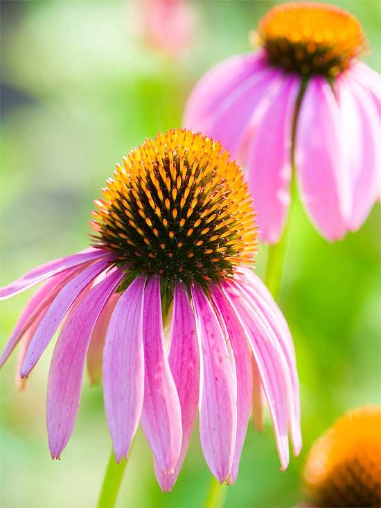 20 perennial flower for your garden 7