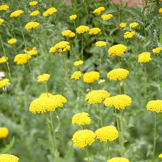 20 perennial flower for your garden 8