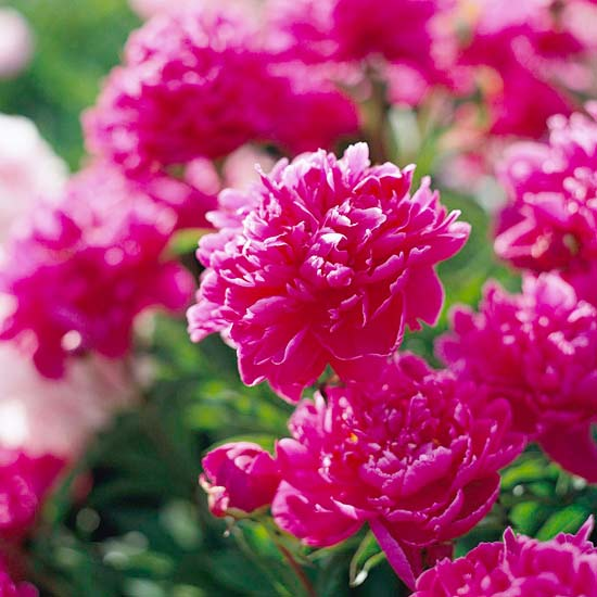 20 perennial flower for your garden 9