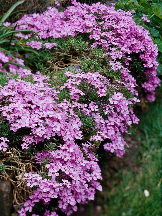 20 perennial flower for your garden 13