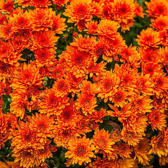 20 perennial flower for your garden 19