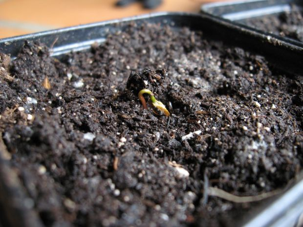 How to grow a giant sequoia from seed 8