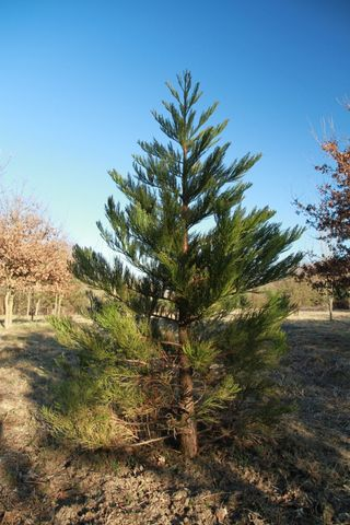 How to grow a giant sequoia from seed 14