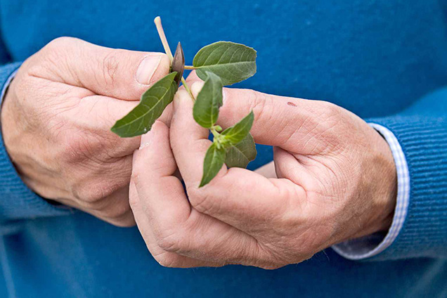 Play fuchsias by cuttings semileñosos 3