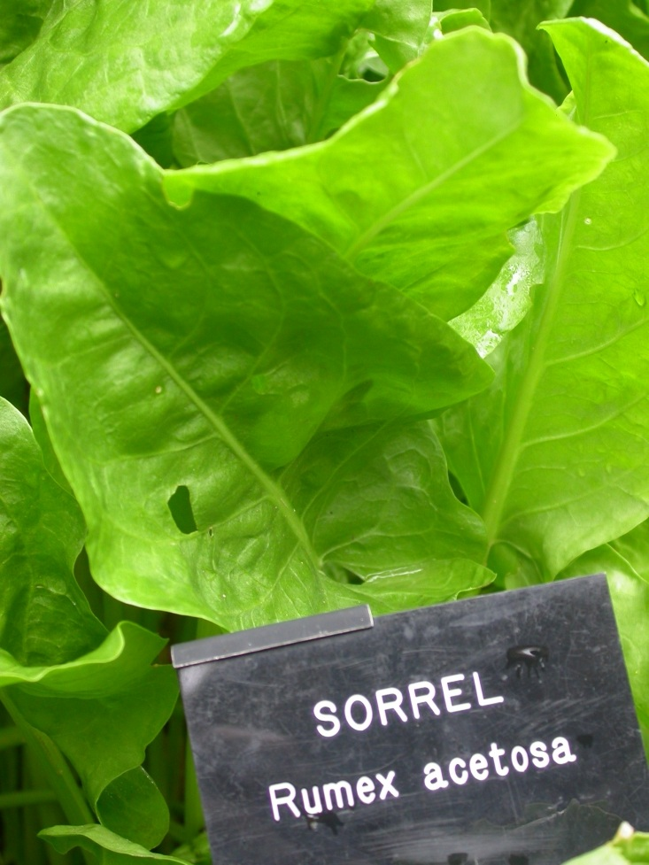 Known and cultivated sorrel 1