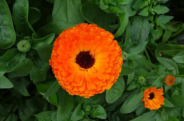 Cultivating edible flowers 5