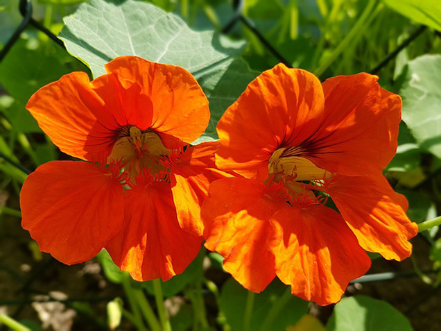 Cultivating edible flowers 8