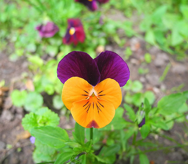 Cultivating edible flowers 9