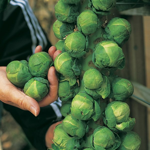 Grow Brussels sprouts in pots 3