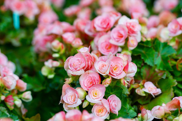 Best flower plants for people who are allergic 2