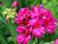 imagen Mejores plantas de flor para personas alérgicas