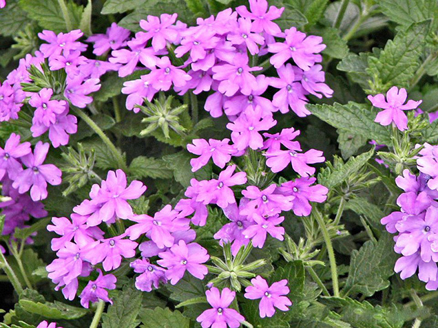 Best flower plants for people who are allergic 19