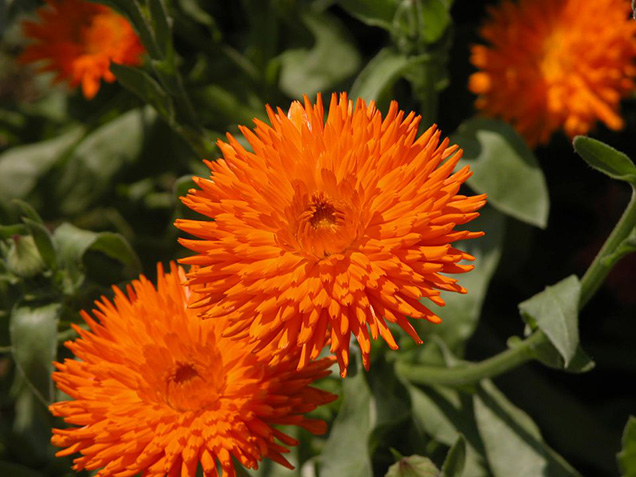 Best flower plants for people who are allergic 21