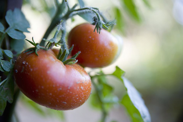 The 10 best tips for growing tomatoes 11