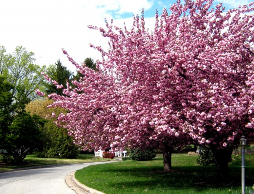The best trees for a small garden 4