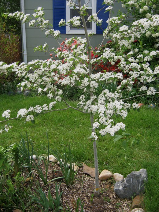 The best trees for a small garden 6