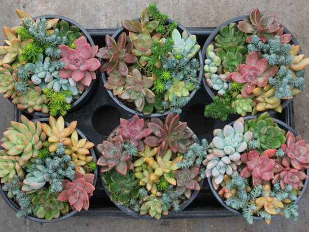 The most common myths about succulents 1