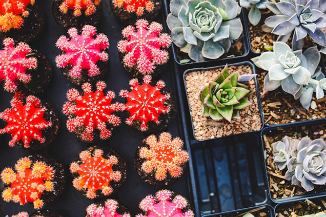 The most common myths about succulents 3