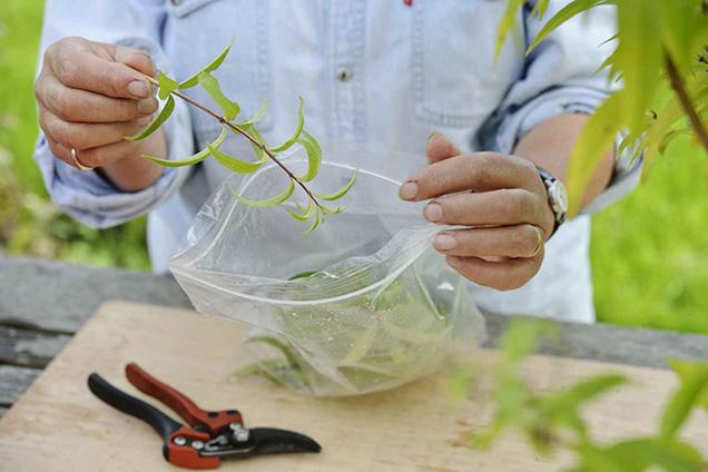 Play herb shrub by cuttings 3