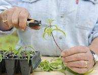 imagen Reproducir hierbas aromáticas arbustivas por esquejes