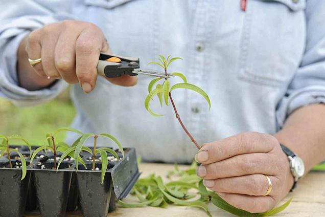 Play herb shrub by cuttings 6