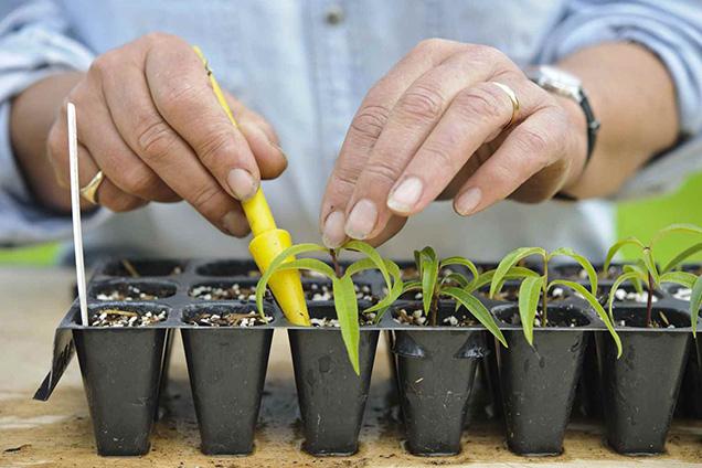 Reproducir hierbas arom ticas arbustivas por esquejes - Hierba luisa en maceta ...