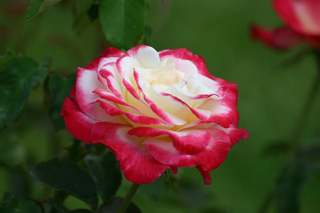 Top 10 roses more fragrant 1