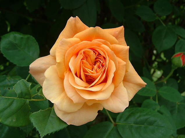 Top 10 roses more fragrant 2