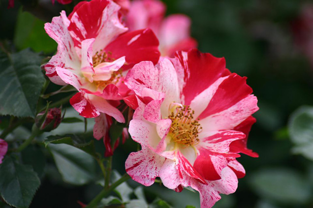 Top 10 roses more fragrant 3