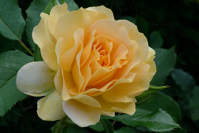 Top 10 roses more fragrant 4