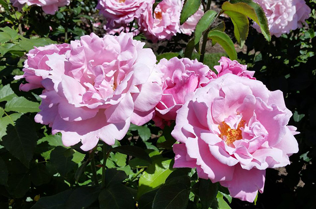 Top 10 roses more fragrant 5