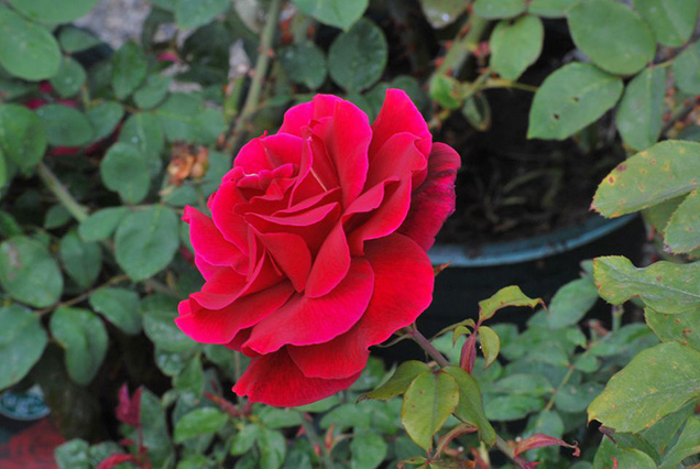 Top 10 roses more fragrant 7
