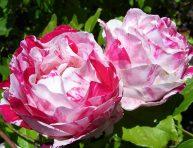 imagen Top 10 de las rosas más fragantes