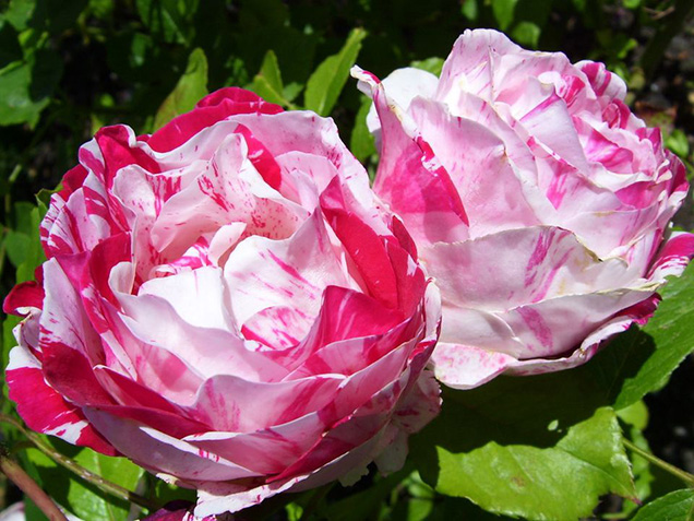 Top 10 roses more fragrant 8