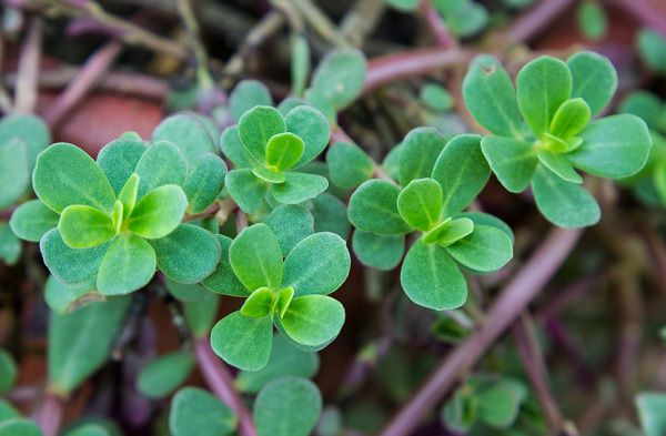 Purslane, a weed to superfood 1