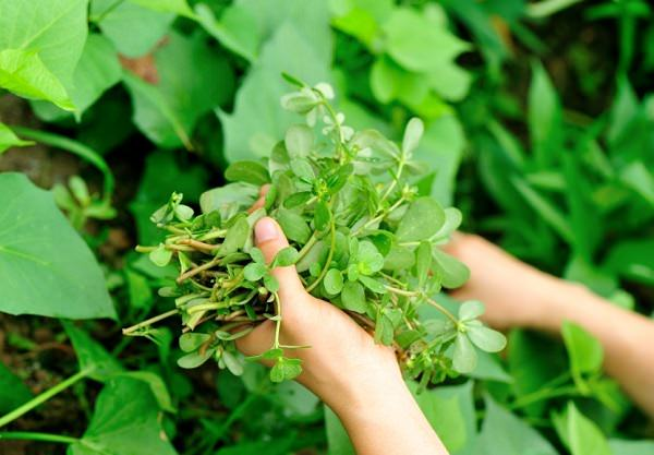 Purslane, a weed to superfood 5