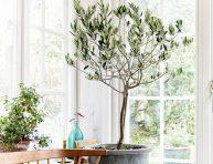 imagen Cuidados del Olivo como planta de interior