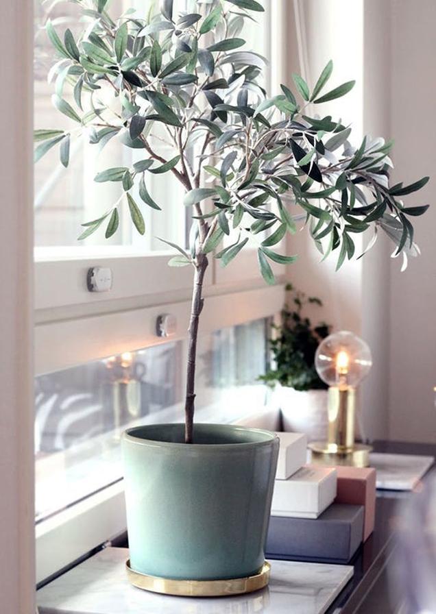 Cuidados del olivo como planta de interior gu a de - Olivo en maceta ...