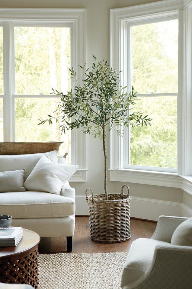 Cuidados del olivo como planta de interior - Cuidado de azaleas en interior ...