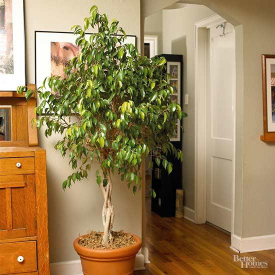 Rboles de interior para decorar tu espacio - Arboles de interior ...