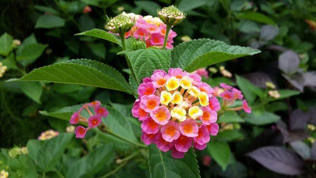 Lantana Un Arbusto Con Flores Bellas Y Coloridas - Arbustos-de-flor