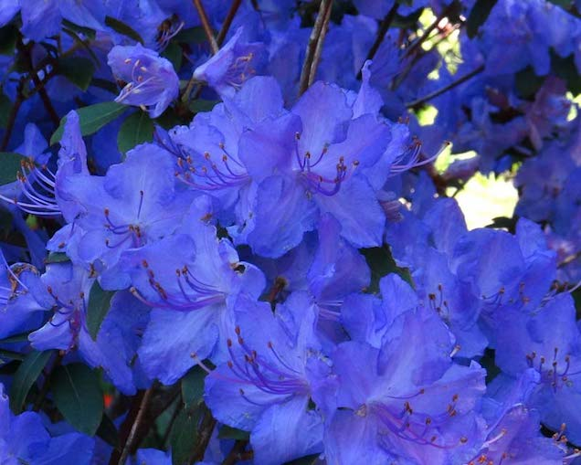 Las Diferentes Variedades De Rododendros O Azaleas