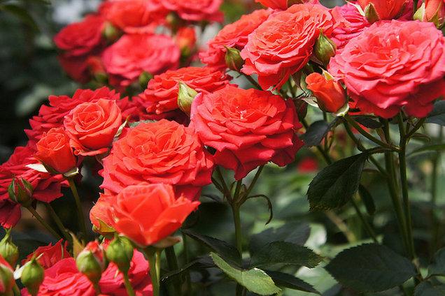 Rosas gu a de jardiner a for Jardineria rosales