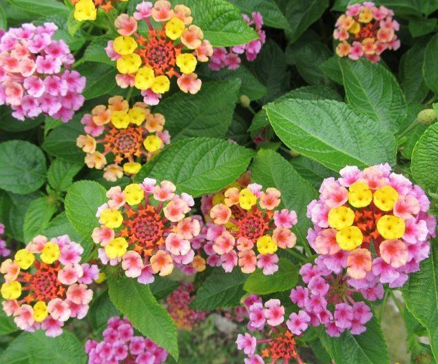 Lantana un arbusto con flores bellas y coloridas - Arbustos perennes con flor ...