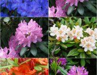 imagen Las diferentes variedades de rododendros o azaleas