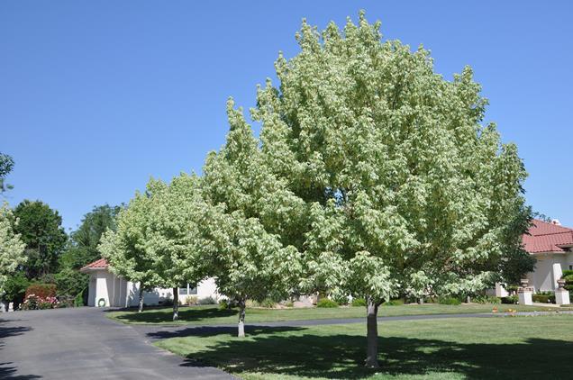 5 rboles de sombra de r pido crecimiento for Arboles perennes de crecimiento rapido