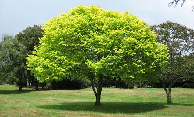 5 árboles de sombra de rápido crecimiento