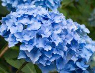 imagen El ABC del azulamiento de las hortensias