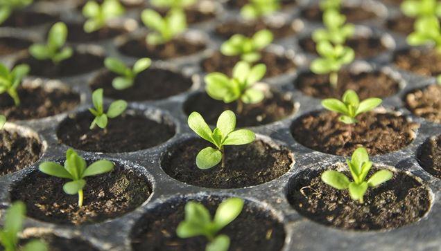 Como sembrar semillas en el interior for Plantar hortensias semillas